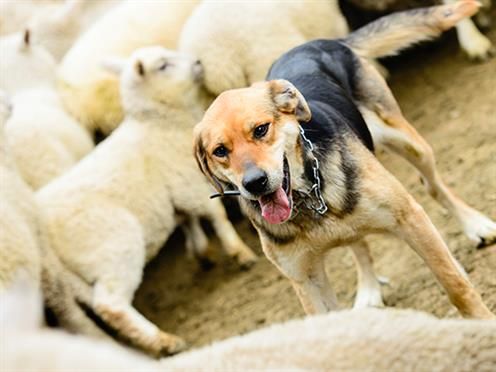 Sheepdog herding sheep