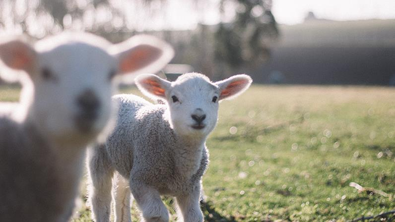 A photograph of some lambs in a paddock
