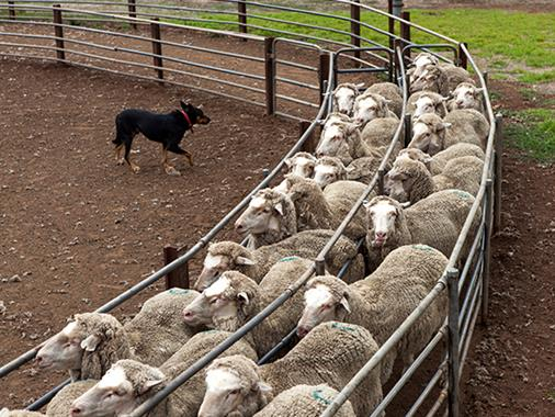 A sheepdog herds sheep on a farm
